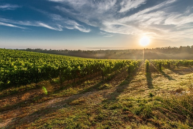 The sun setting over a vineyard