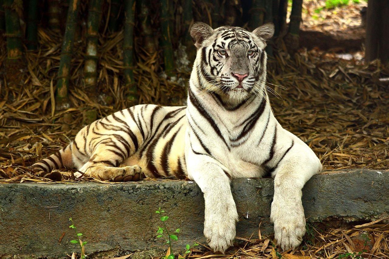 White_Bengal_Tiger,_Vandalur_zoo