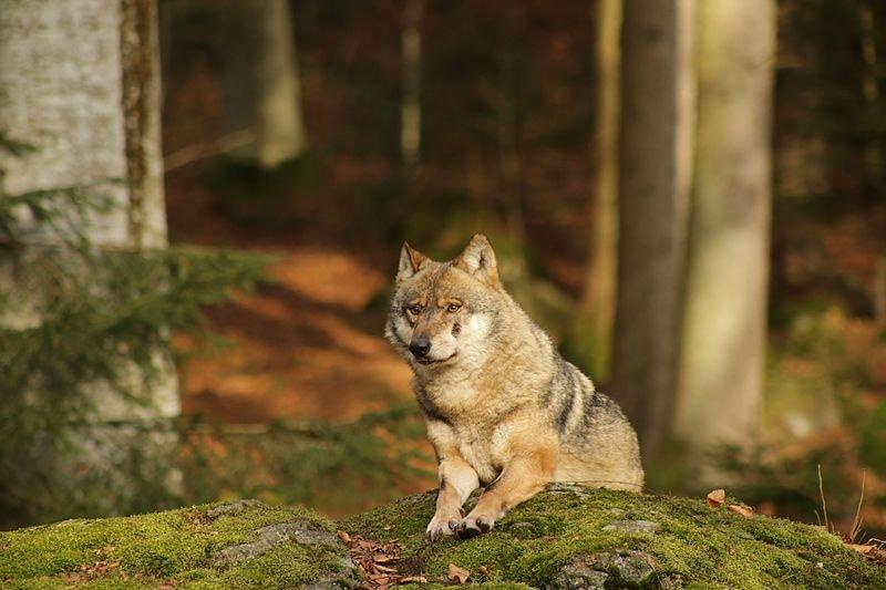 Wolf_im_Nationalpark_bayerischer_Wald,_Neuschönau