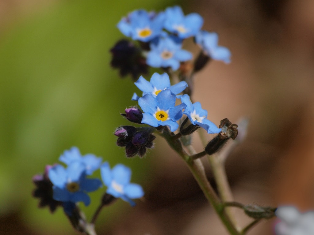 Spomenka - Forget-me-not | © Shanthanu Bhardwaj/Flickr