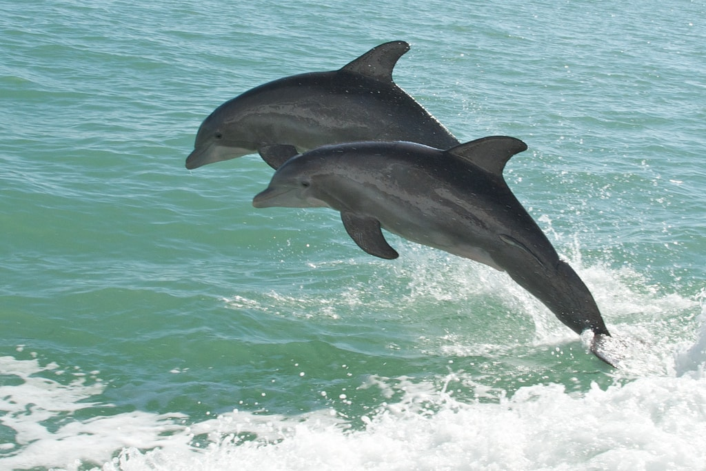 Dolphins jumping in the ocean