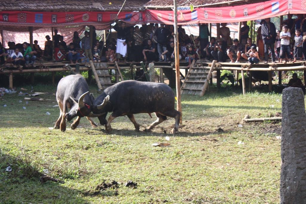Controversial water buffalo fighting | © Arian Zwegers/Flickr