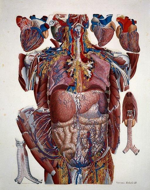 Anatomical_Illustration_Wellcome_L0019305