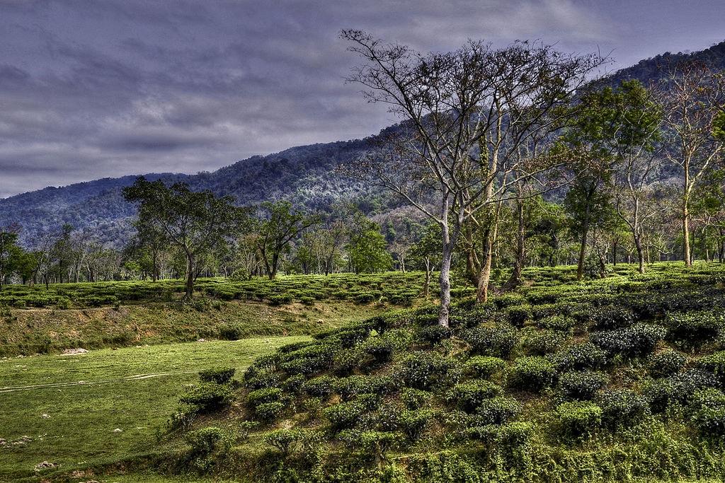 Assam Tea Garden | Diganta Talukdar / WikiCommons