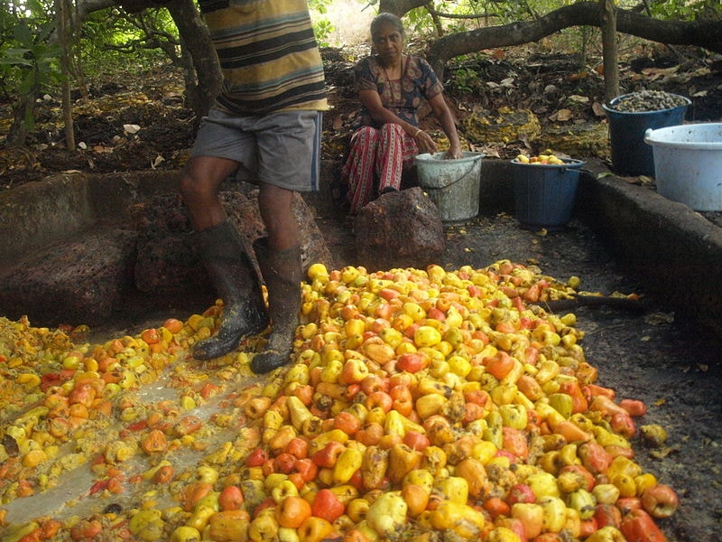 Cashew apples being squashed for feni Fredericknoronha WikiCommons