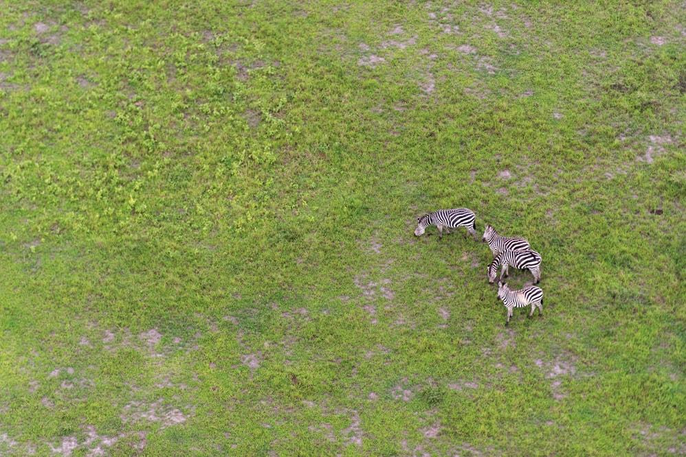 A few zebras in Kirara plain in Akagera National Park during the rainy season | Courtesy of Gaël R. Vande weghe and Philippe Nyirimihigo