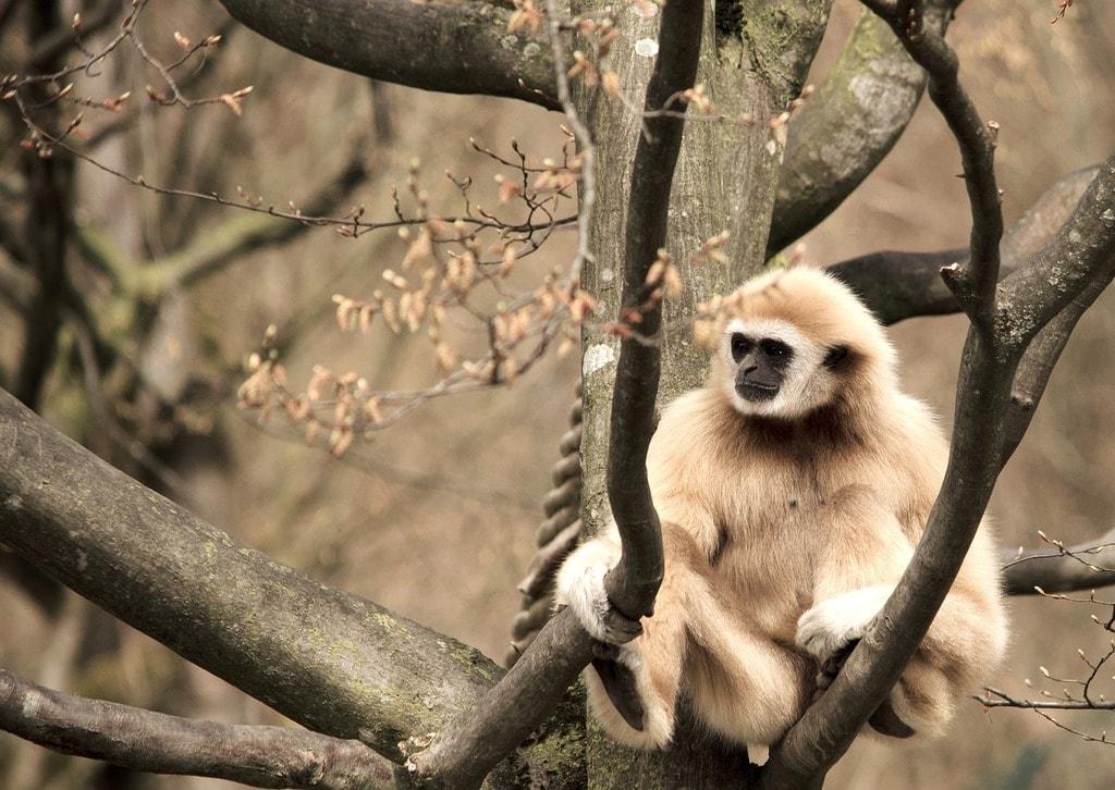 Gibbon   © strichpunkt/Pixabay