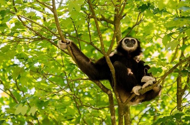 gibbon-2407192_1920