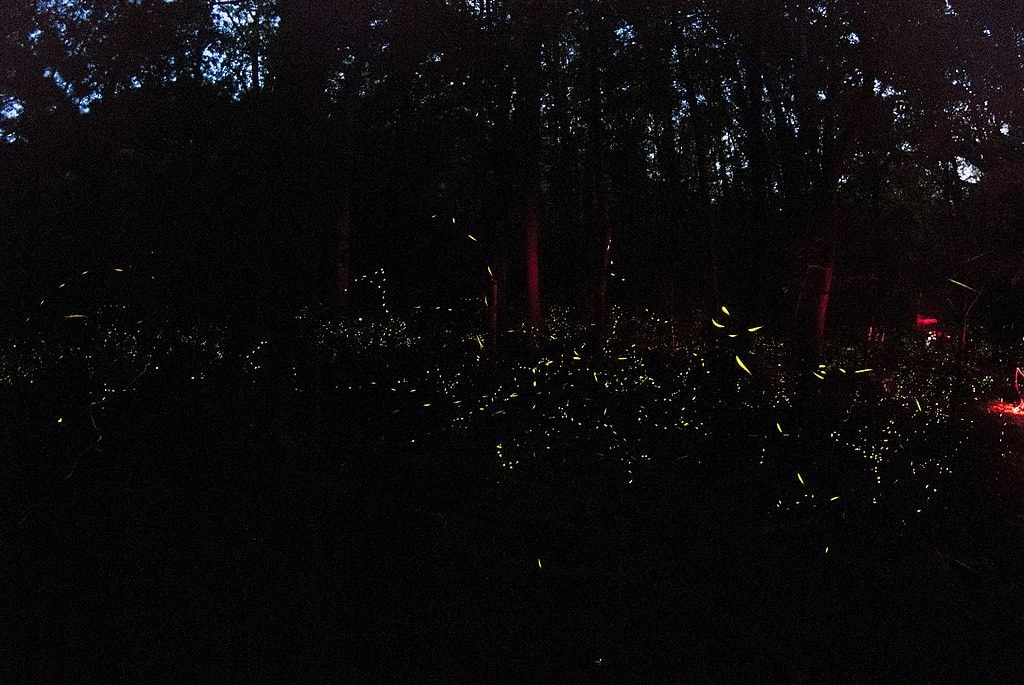 Great_Smoky_Mountain_Fireflies_-_panoramio