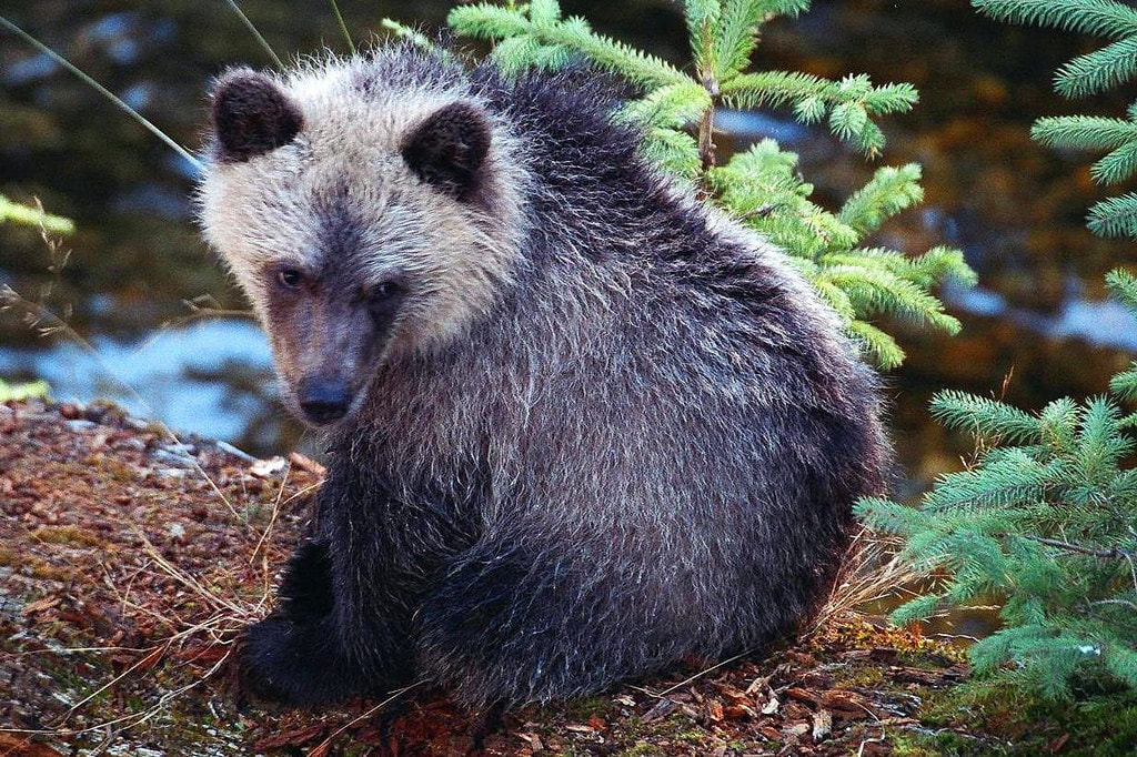 Grizzly, BC Canada