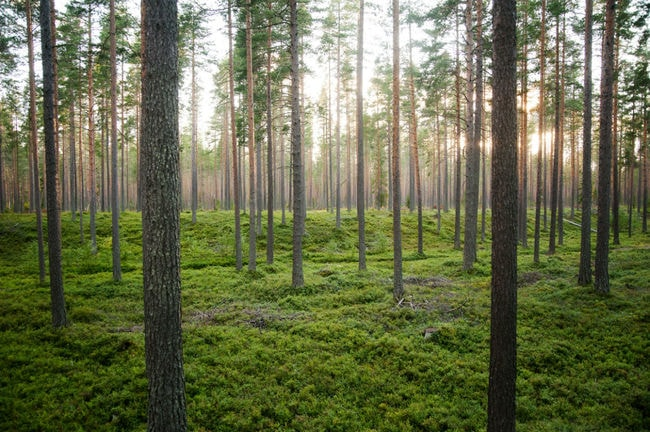 jonatan_stålhös-pine_forest-5757