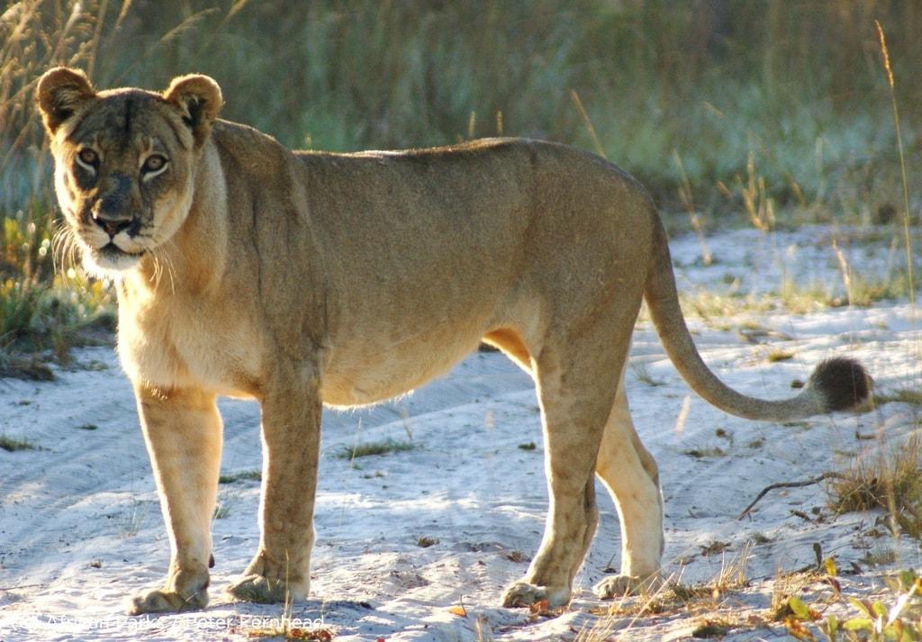 Lady Liuwa the Lioness