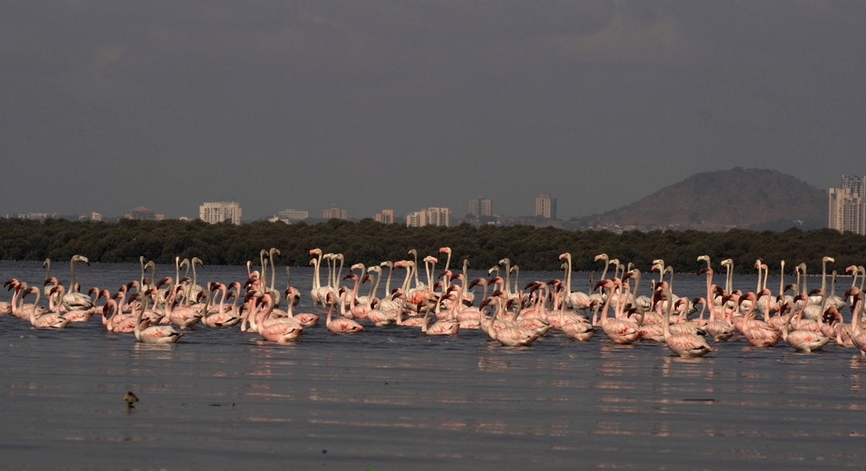 Lesser_and_Greater_Flamingos_at_Thane_Creek_by_Dr._Raju_Kasambe_(2)