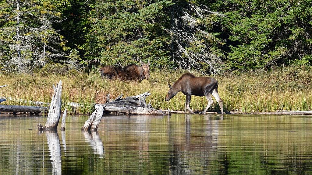 Moose_(Alces_alces),_Female_and_Juvenile_-_Algonquin_Provincial_Park,_Ontario