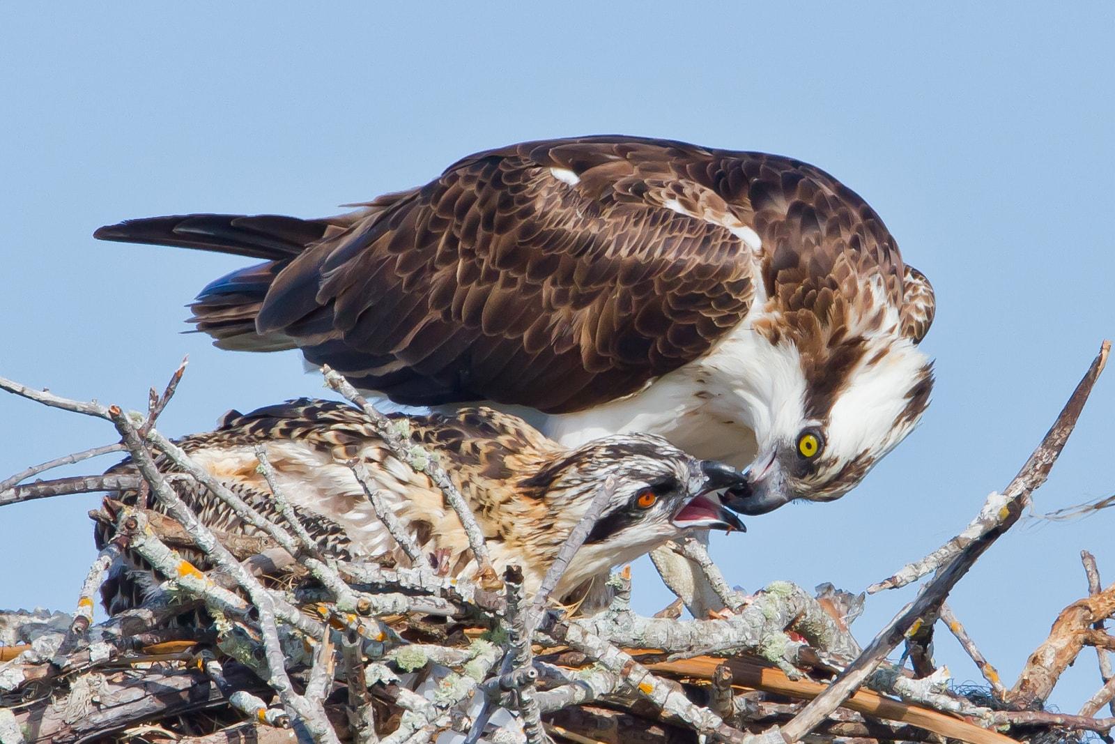 osprey marco island