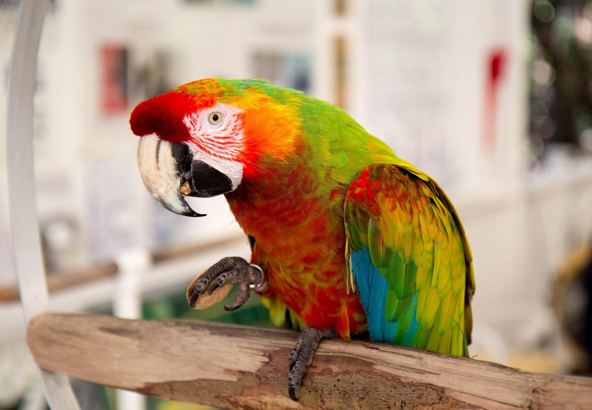 parrot on islamorada