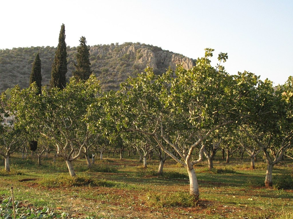 Pistachio_trees_-_panoramio