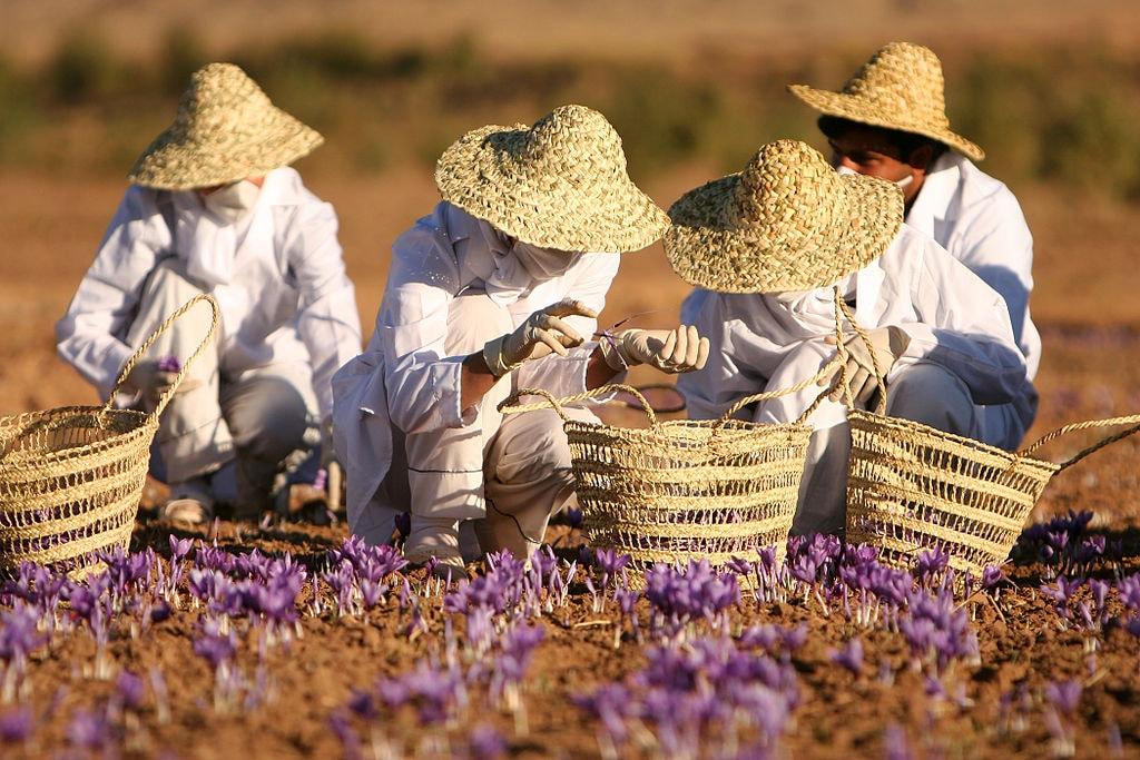 Saffron harvest in Khorasan | © Safa.daneshvar / Wikimedia Commons