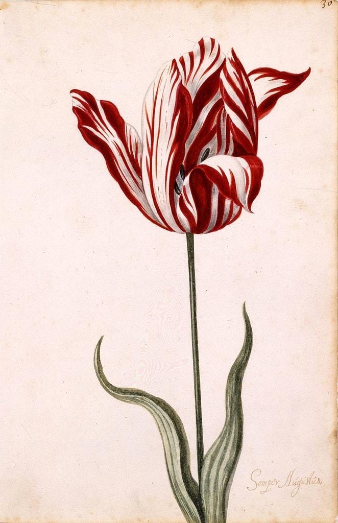 Semper_Augustus_Tulip_17th_century (1)