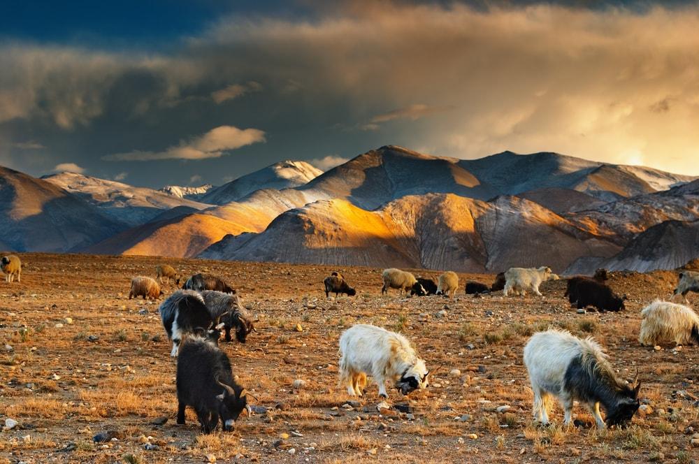 Tibetan landscape with grazing sheep and goats | © Dmitry Pichugin/Shutterstock