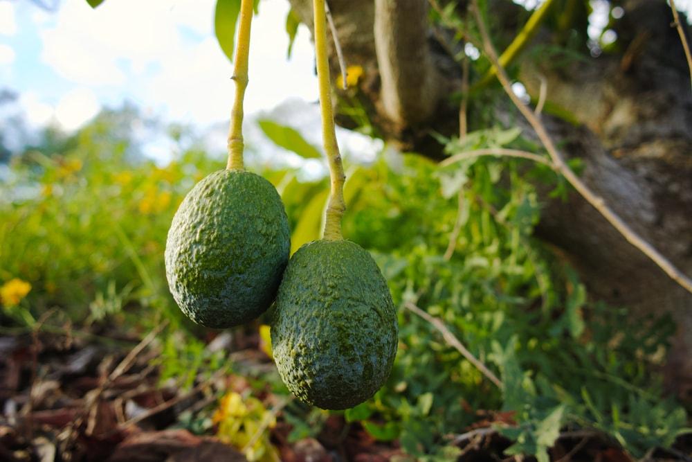 Avocados are under attack in Mexico | ©barmalini / Shutterstock