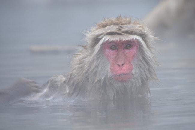snow-monkey-2403922_1280