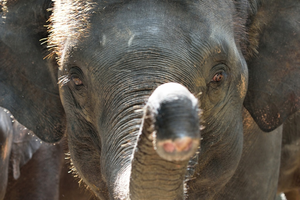 Southeast-Asian-Elephant