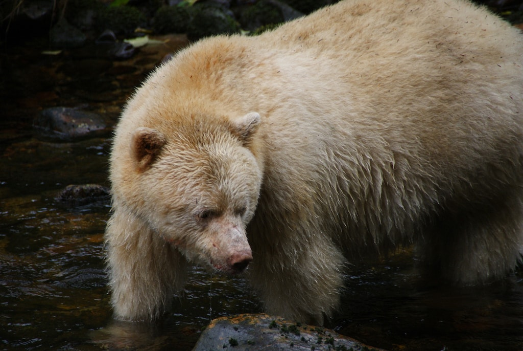 Spirit Bear, British Columbia