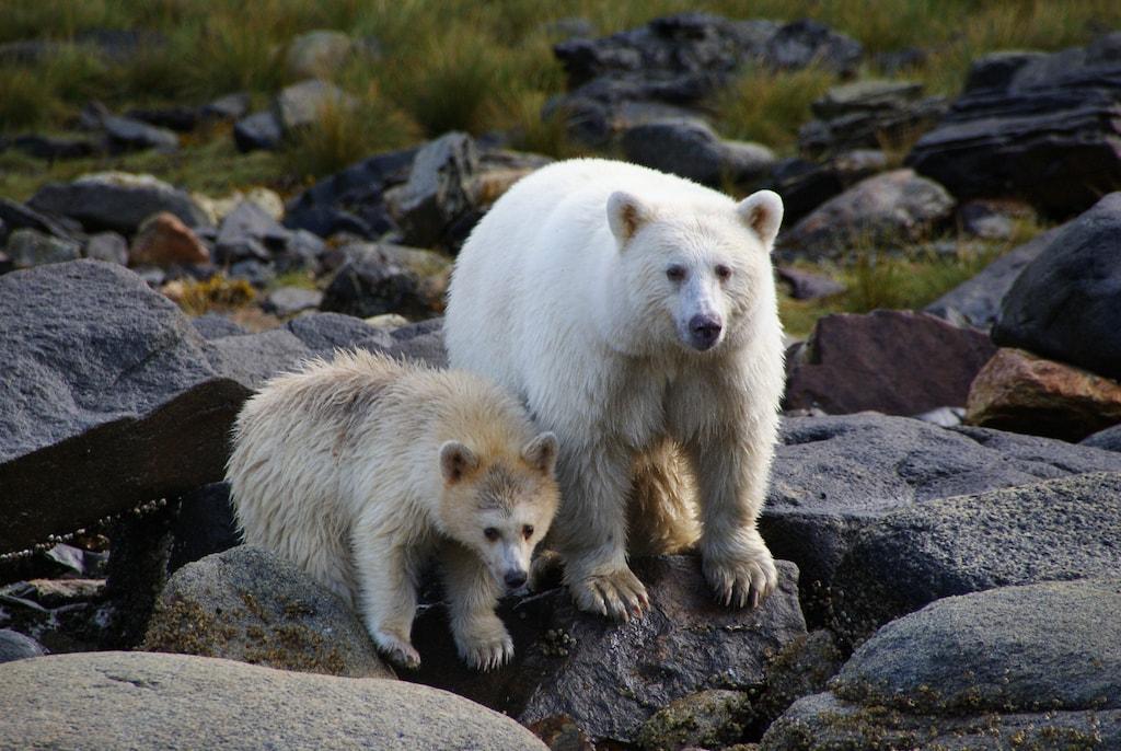 Spirit Bears, Canada