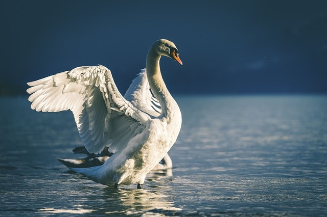 swan-2576257_640