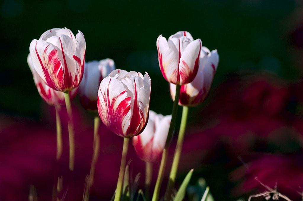tulips-56423_1920