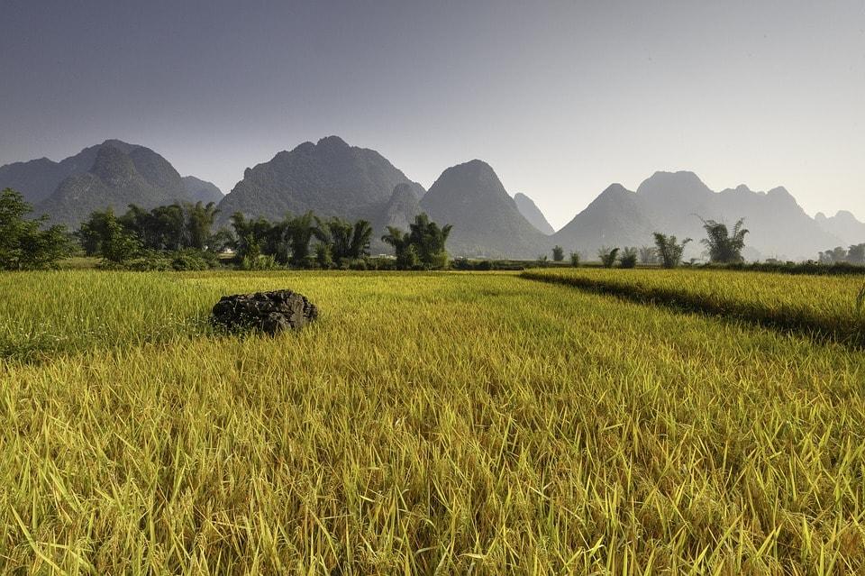 Vietnam Rice Field