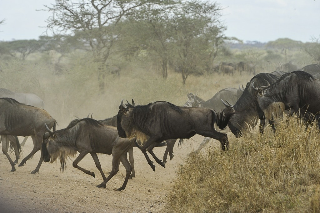 Wildebeest on the move