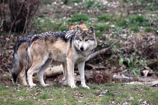 wolf-2792285_640
