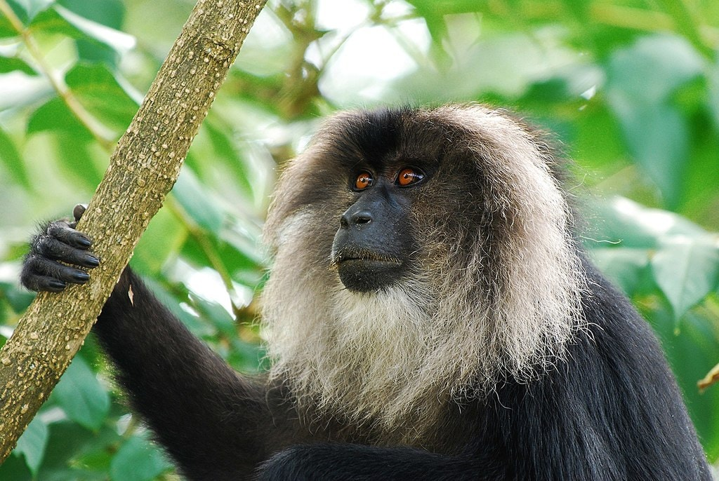 1.SVNP_lion_tailed_macaque_