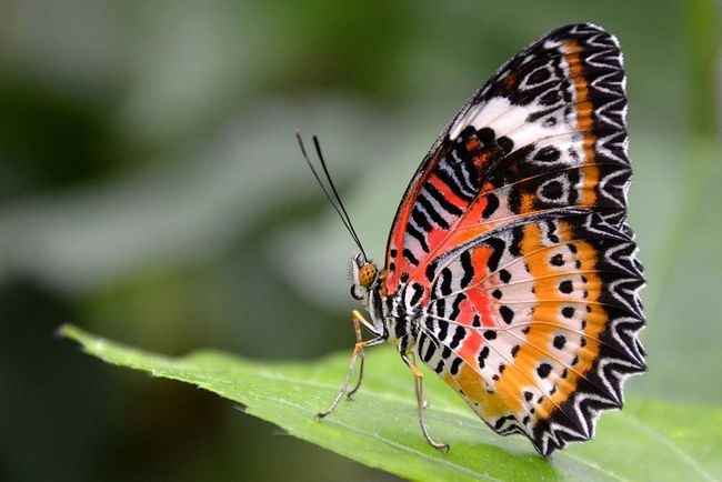 1024px-Leopard_Lacewing