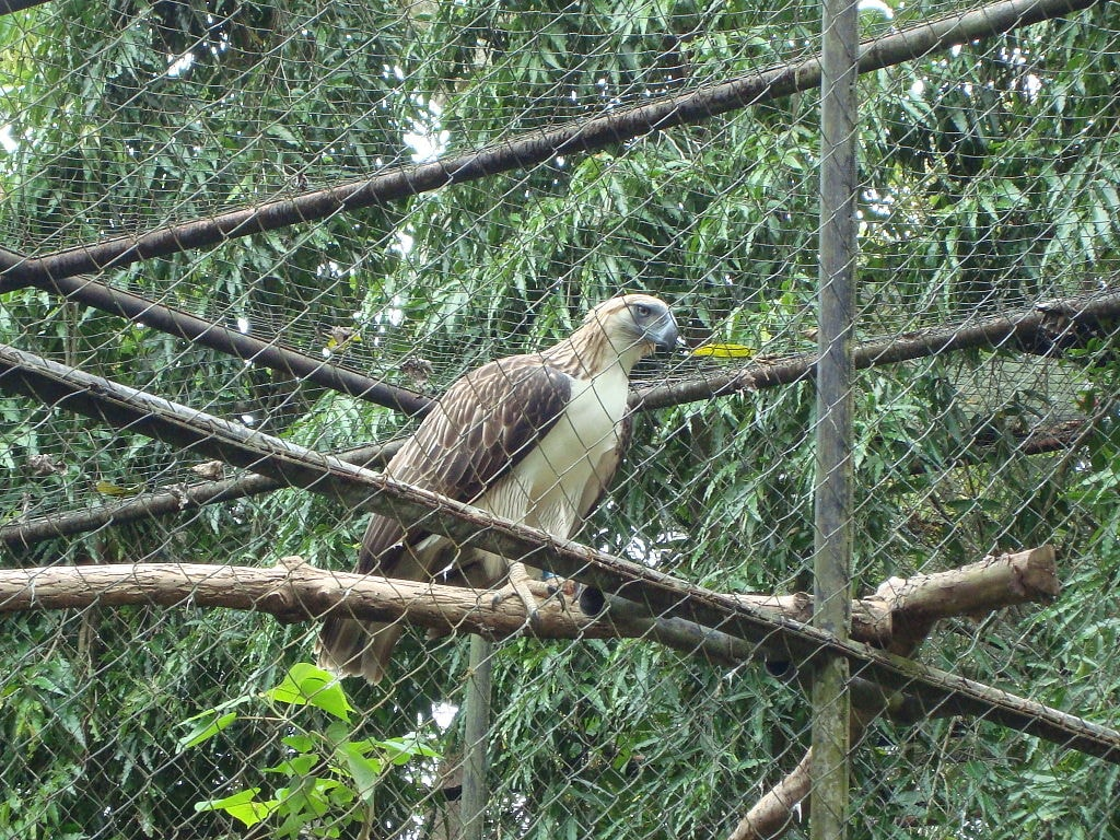 1024px-Pithecophaga_jefferyi_-Philippine_Eagle_Center,_Davao_City,_Philippines-8a