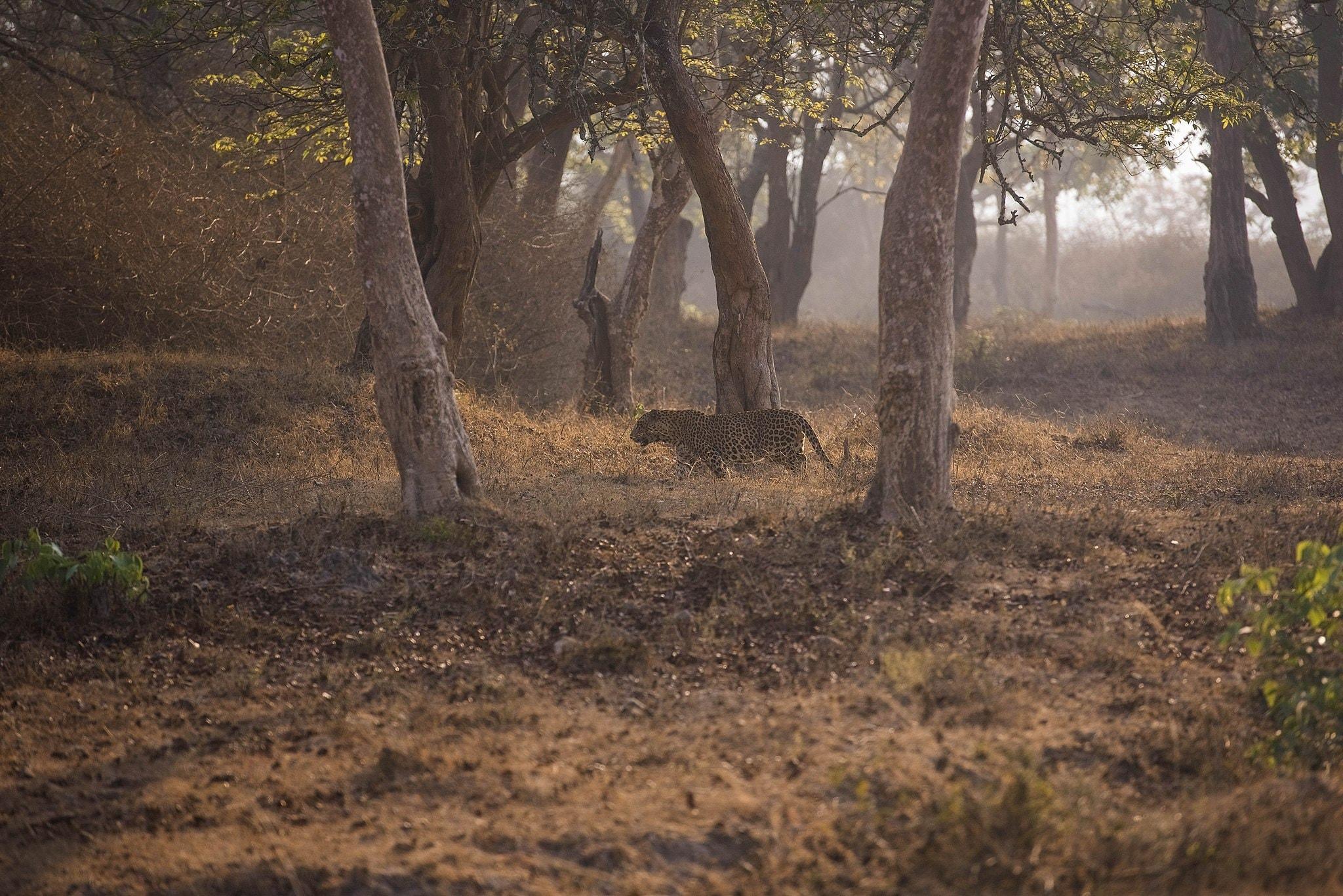 2.leopard_