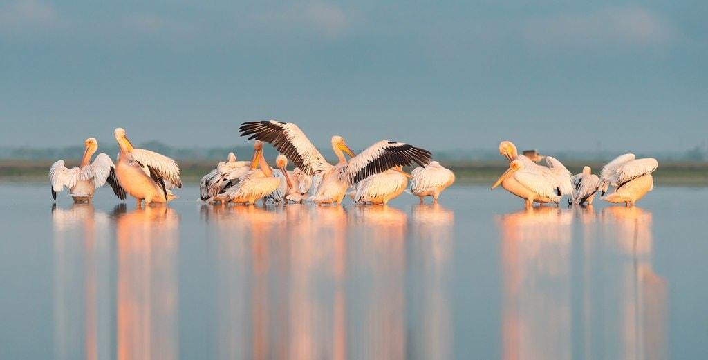 Great white pelicans Ukraine