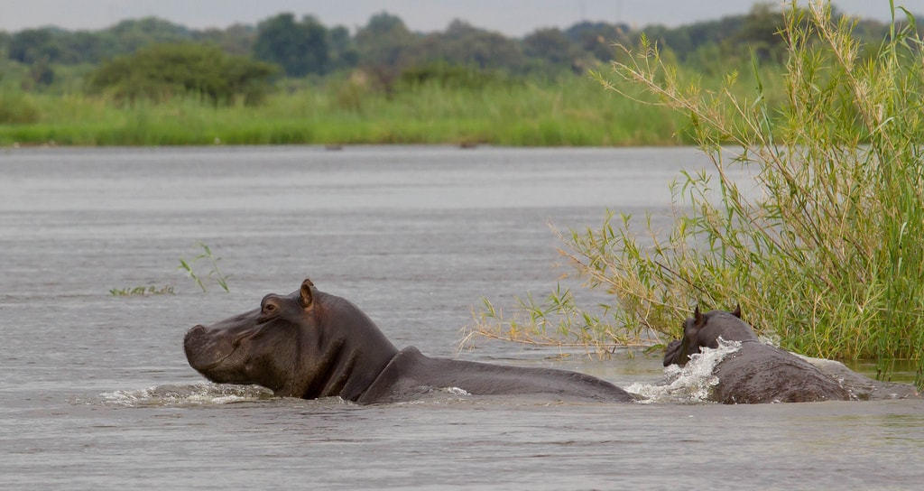 Hippos in the Caprivi