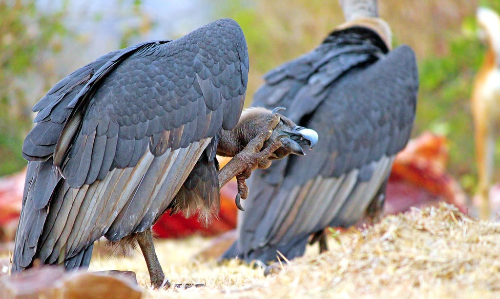 6.WWS_indian_white-rumped_vulture_