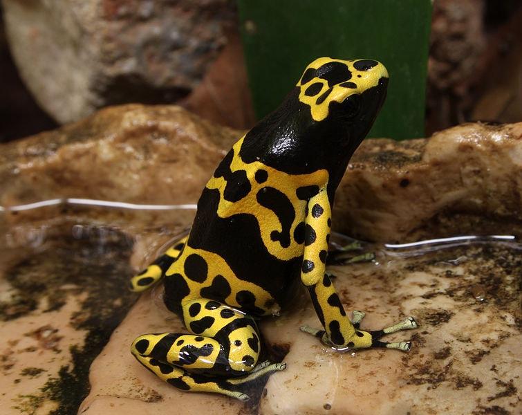 755px-Bumblebee_Poison_Frog_Dendrobates_leucomelas
