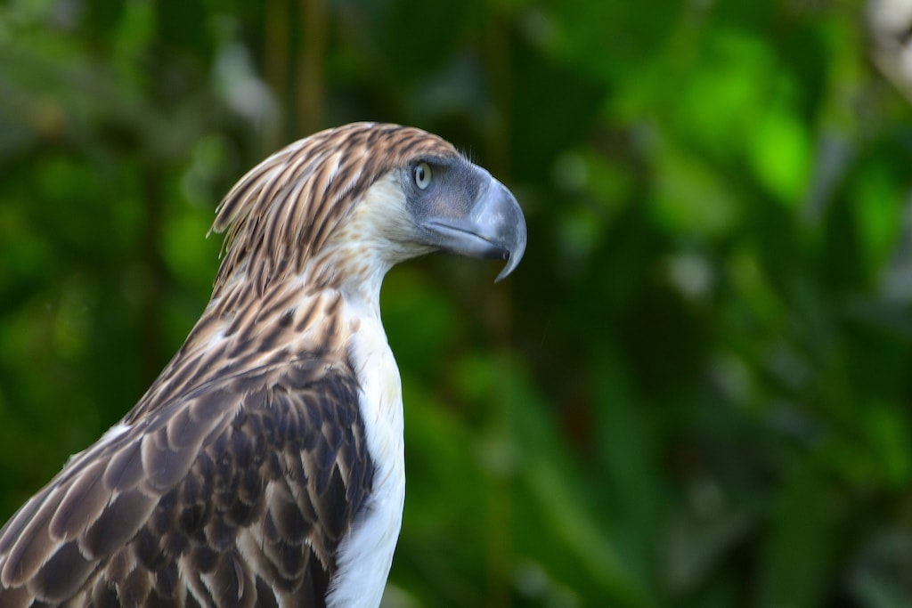 Philippine Eagle 11 Facts About The Philippines National