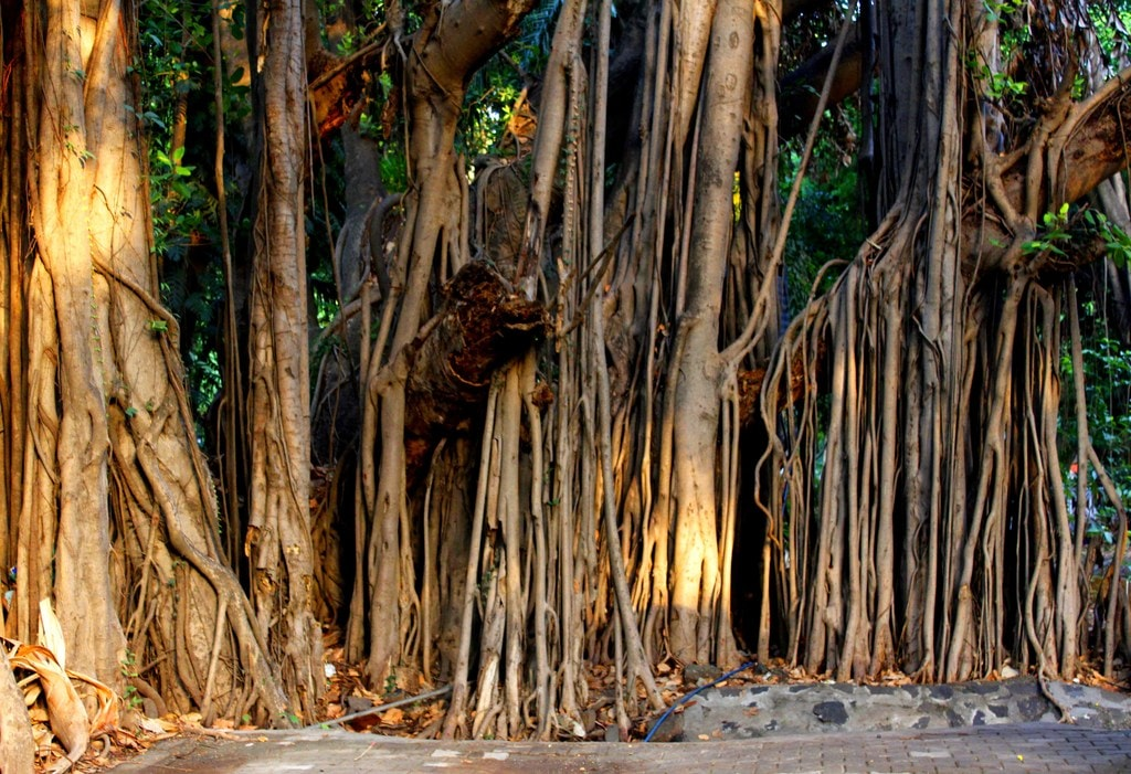 A Banyan Tree at Empress Garden Pune