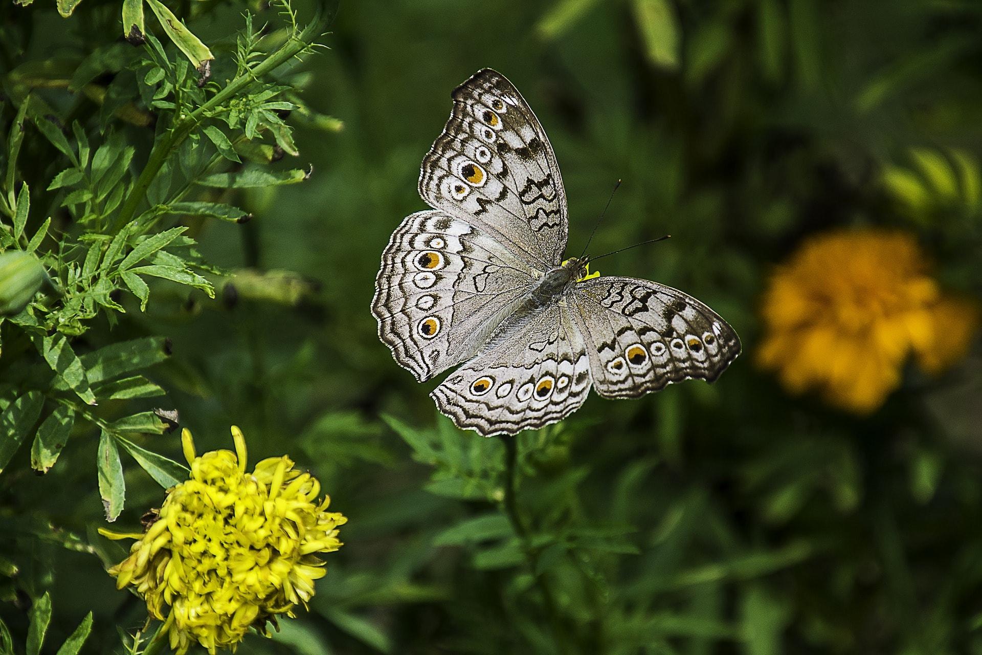 butterfly-1644189_1920