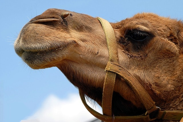 "Camels were injected with Botox so they could win the contest (stock photo) | <a href=""https://pixabay.com/en/camel-face-close-up-head-animal-1624643/"" target=""_blank"" rel=""noopener"">© Paulbr74/Pixabay</a>"