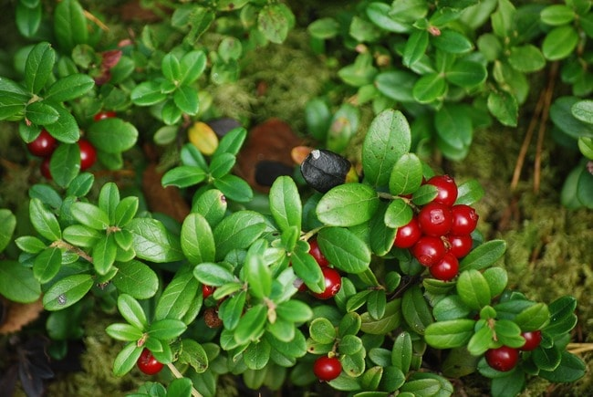 cowberry-2238383_1920