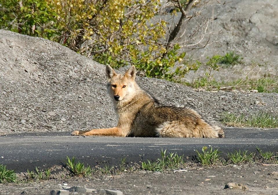 coyote-1819_960_720