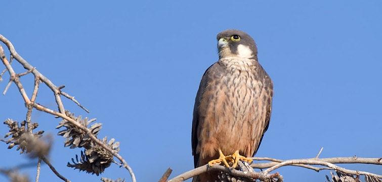 Falco_eleonorae_Balearic_Islands (1)