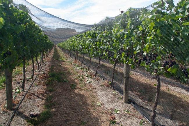 Felton Road Vines Under Netting